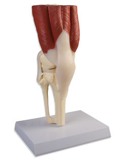 Knee Joint, life size, with muscles
