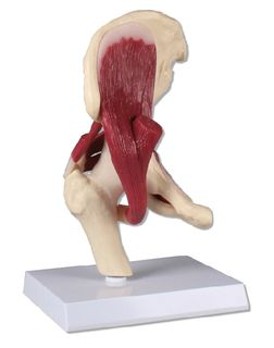 Hip Joint, life size, with muscles