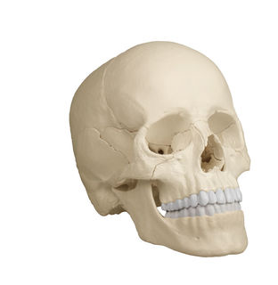 Osteopathic Skull Model | 22 part, anatomical version