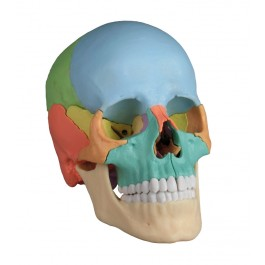 Osteopathic Skull Model, 22 part, didactical version