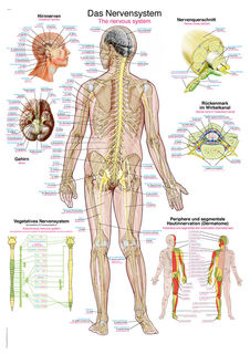 The nervous system Chart | 70 x 100 cm | plastic