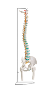 Flexible Spine model on hanging stand