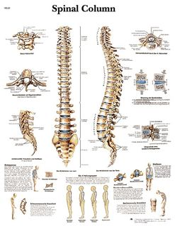 Spinal Column| 50 x 67 cm | laminated