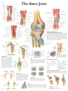 Human knee joint | 50 x 67 cm | laminated