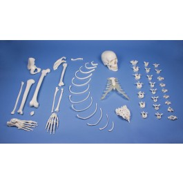 Half skeleton bone collection unassembled
