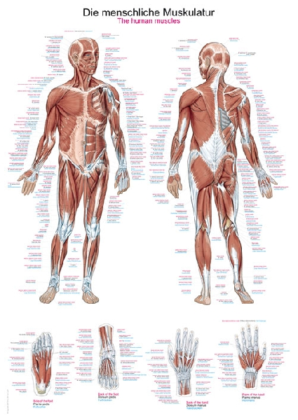 Chart of The human muscles | 70 x 100 cm | plastic