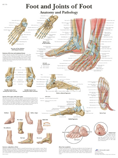 Foot and Joints of Foot Chart| 50 x 67 cm | laminated