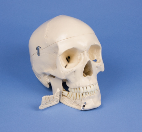Dental skull, 4-part