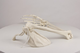 Arm skeleton with scapula & clavicle